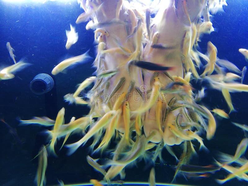 Pies humanos en el acuario para la alergia y el psoriasis de la piel de la invitación de la terapia del balneario de los pescados imagen de archivo