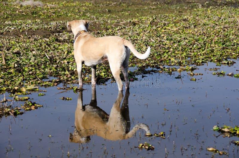 Pies i odbicie fotografia stock