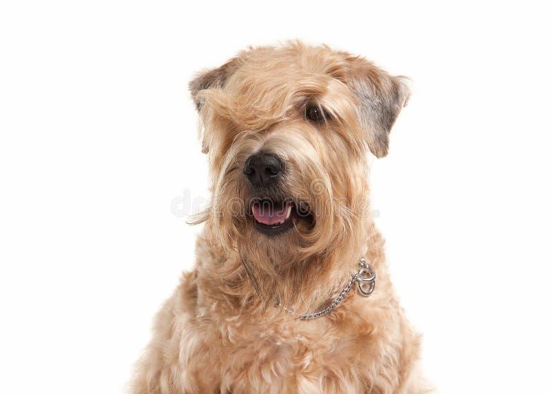Pies irlandzki powlekana miękki terrier wheaten zdjęcie royalty free
