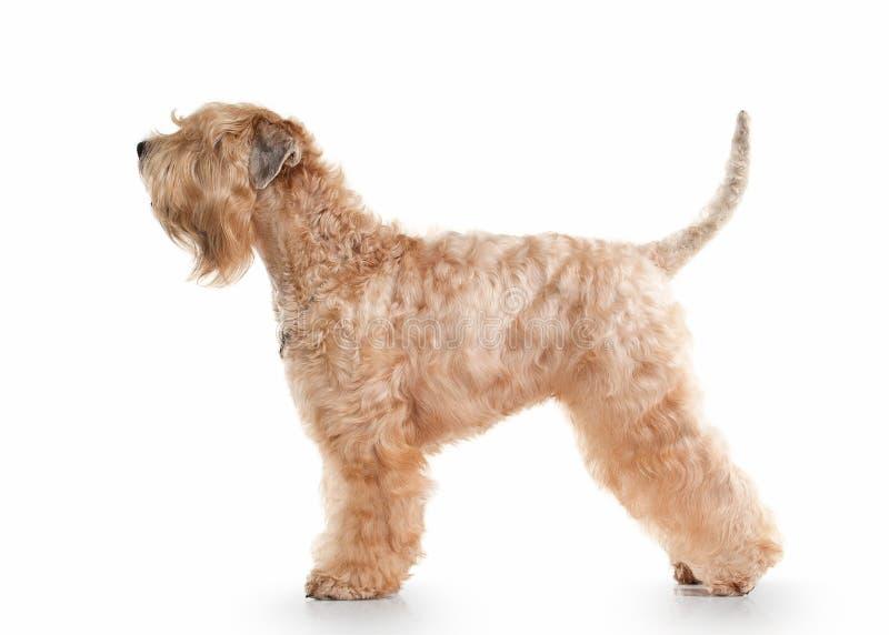 Pies irlandzki powlekana miękki terrier wheaten fotografia royalty free