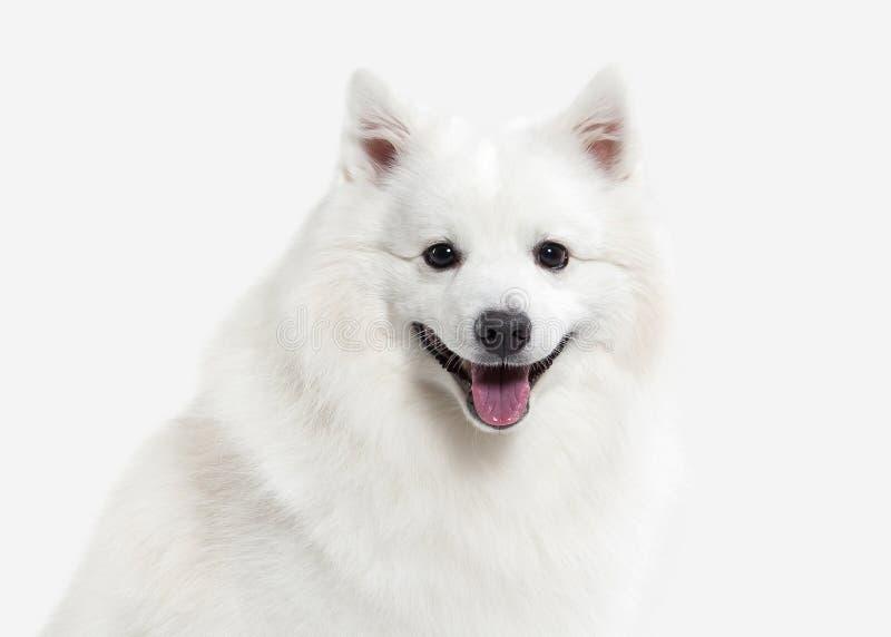Pies Japoński biały spitz na białym tle fotografia royalty free