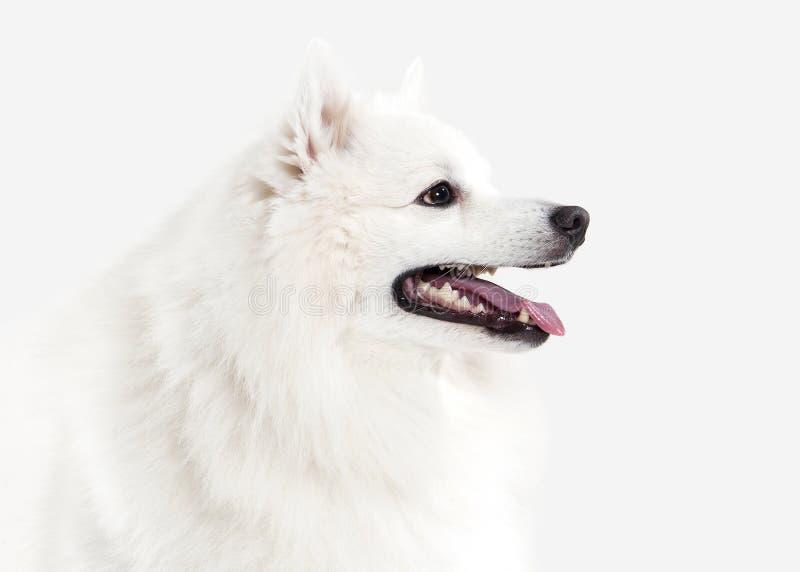 Pies Japoński biały spitz na białym tle obraz stock