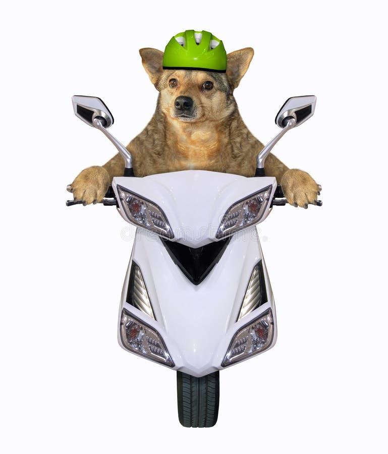 Pies jedzie białego moped obraz royalty free