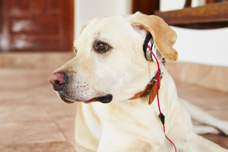 Pies jest słuchającym muzyką zdjęcia stock