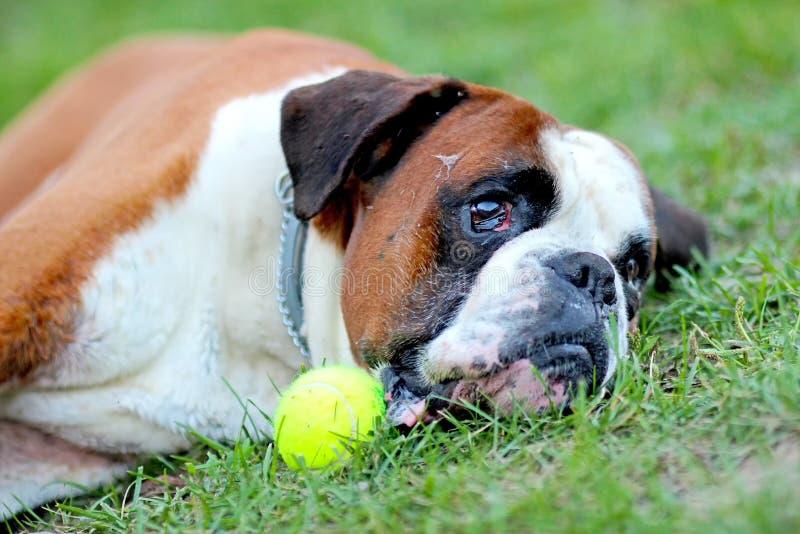 Pies kłama w gree trawie w parku z tenisową piłką Traken jest Niemieckim bokserem obrazy royalty free