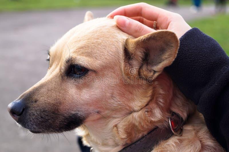 pies klepie rękę właściciel obrazy royalty free