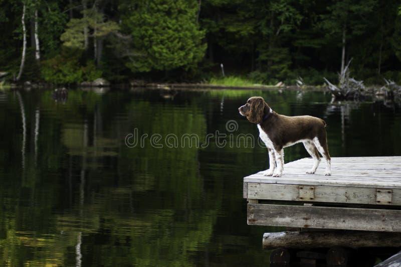Pies na nadjeziornym doku obraz royalty free
