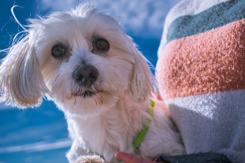 Pies na plaży Biały Maltańskiego psa zbliżenie Szczęśliwy psi Patrzeć in camera Domowy, pedigreed obrazy royalty free
