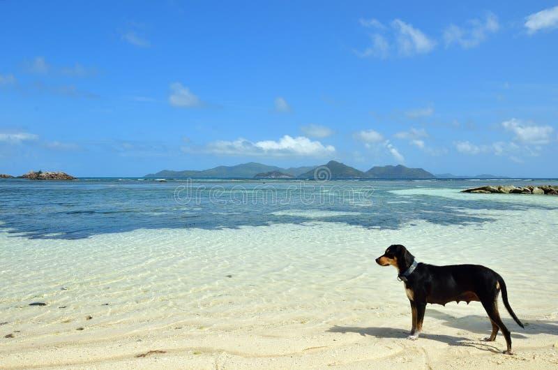 Pies na plaży Seychelles zdjęcie stock