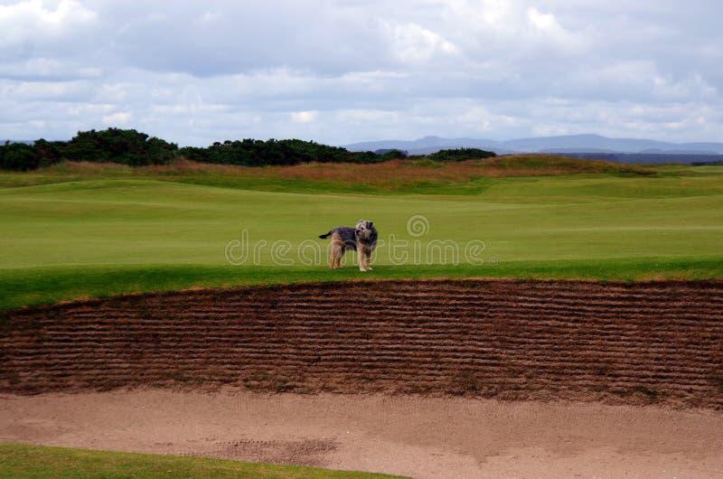 Pies na polu golfowym fotografia stock