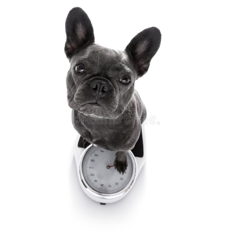 Pies na skala, z nadwaga zdjęcia stock