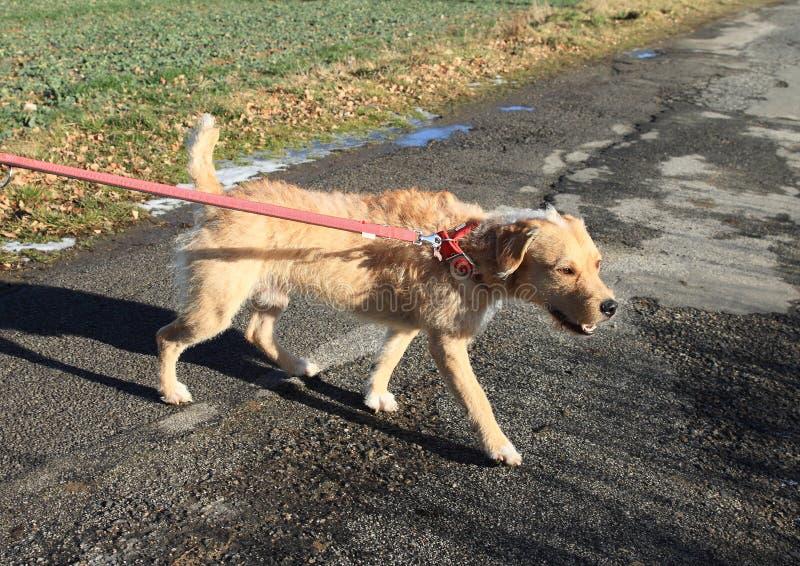 Pies na smyczu obraz royalty free