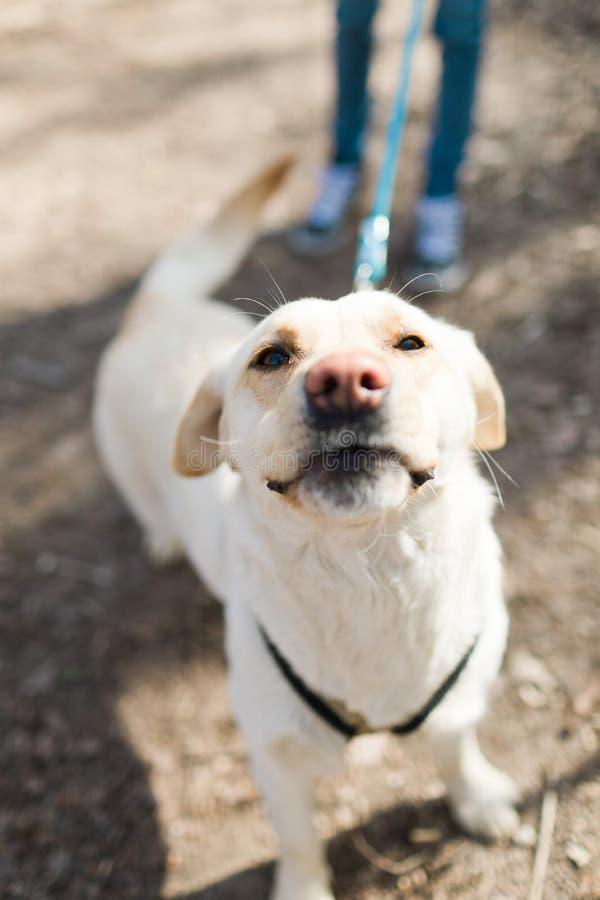 Pies na smyczu podczas odprowadzenia wącha do kamery obrazy stock