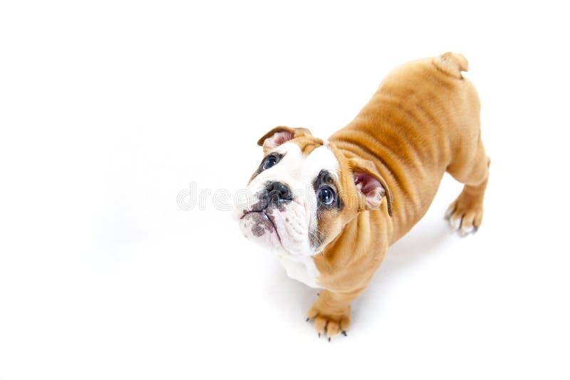 Pies na wihte tle patrzeje up zdjęcie royalty free