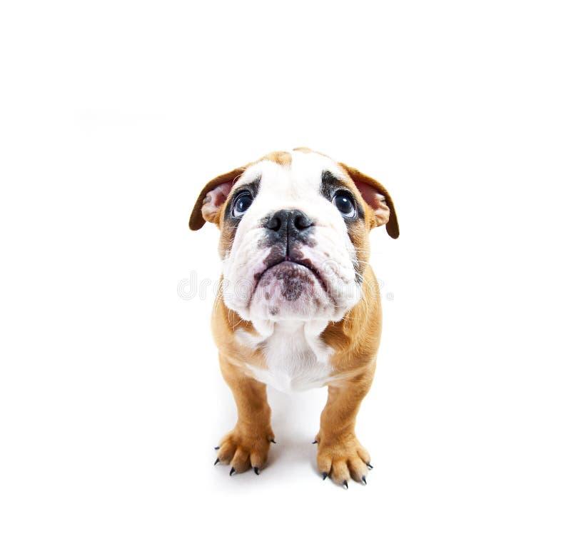 Pies na wihte tle patrzeje up zdjęcia royalty free