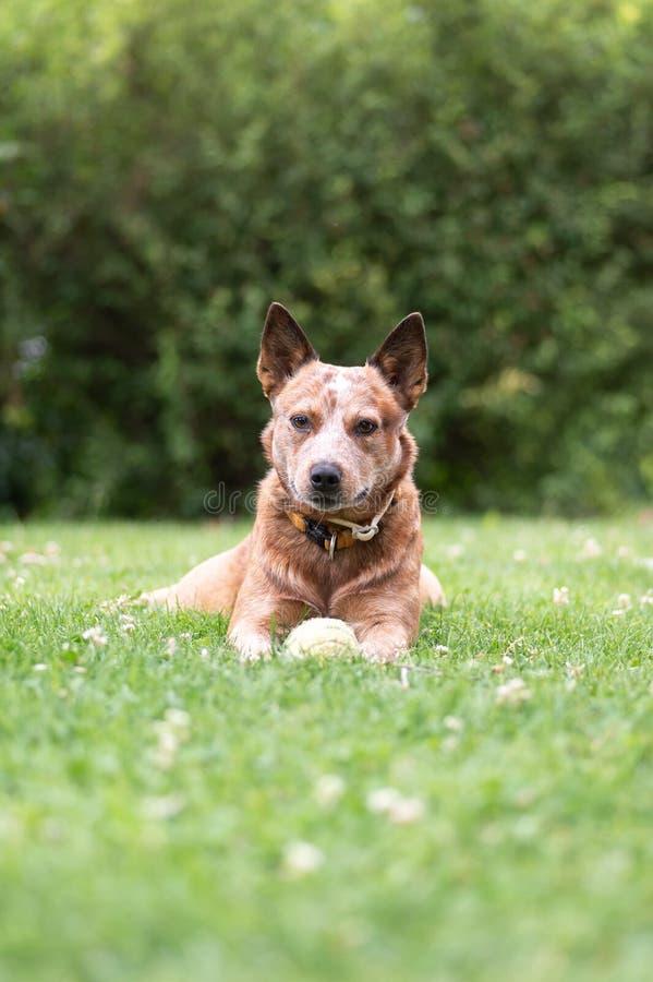 Pies od kierdla, Australijski bydło Jest prześladowanym obraz stock