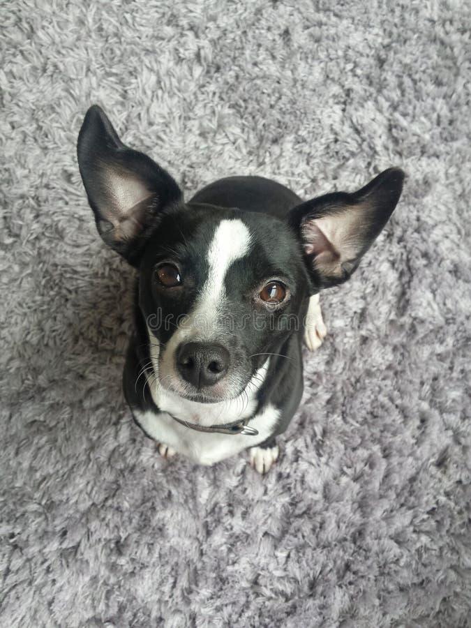Pies patrzeje ciebie z dużymi oczami i ślicznymi ucho obraz stock