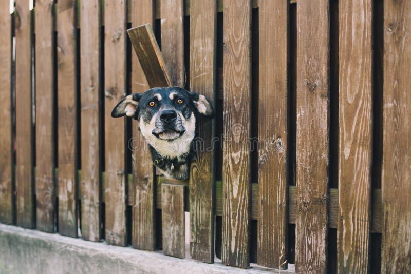 Pies patrzeje od dziury w ogrodzeniu obraz royalty free