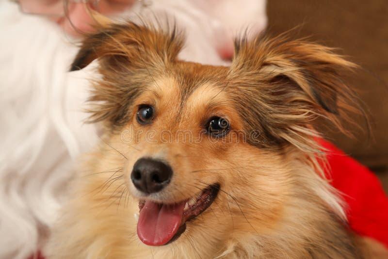 Pies podczas bożych narodzeń obrazy royalty free