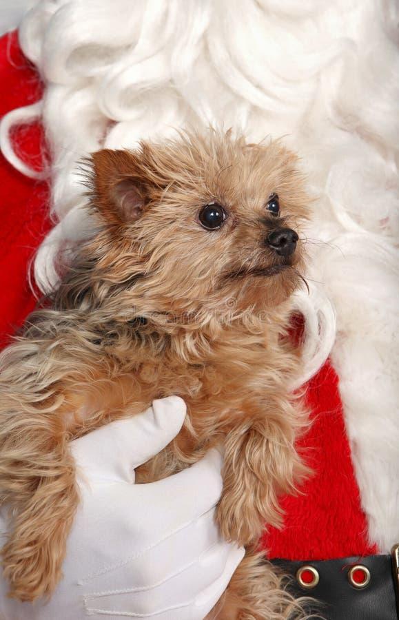 Pies podczas bożych narodzeń fotografia royalty free