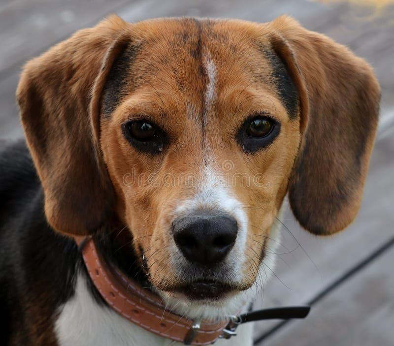 Pies, portret beagle, młody i piękny obraz stock