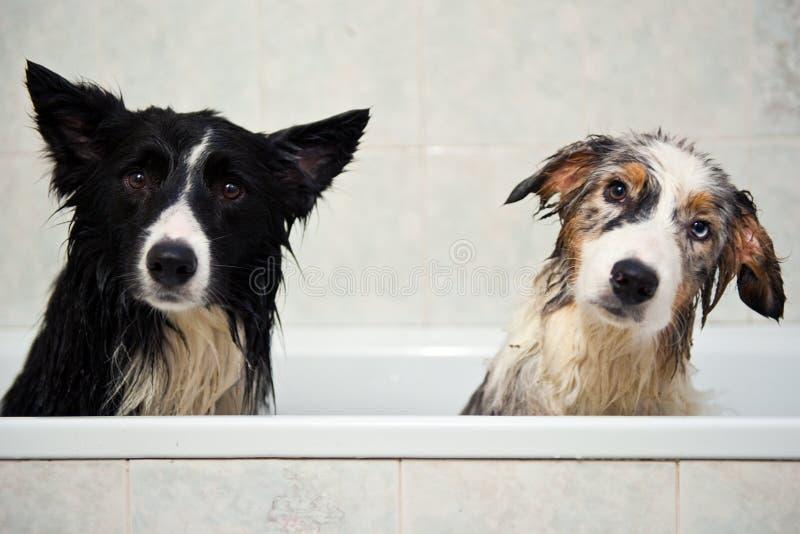 pies prysznic zdjęcie stock