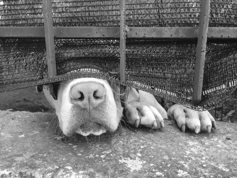Pies przez ogrodzenia obraz royalty free
