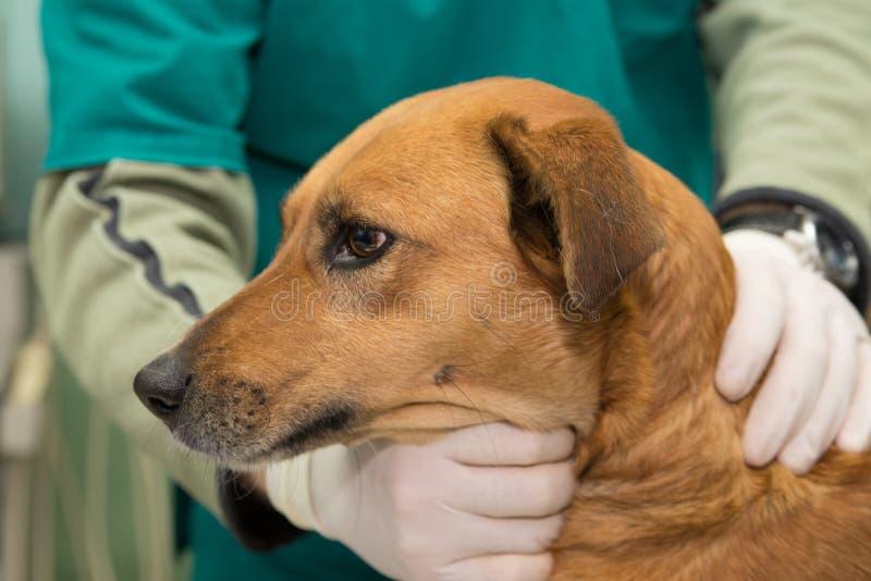 Pies przy weterynaryjną kliniką obrazy royalty free