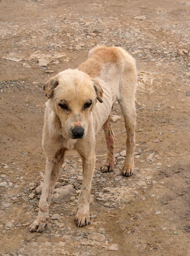 pies przybłęda stinky obraz royalty free