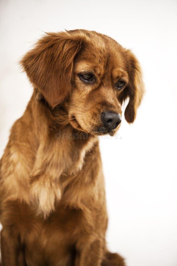 Pies psy pets pet ssak Mammalia zwierzę rozpłodnik bloodhound Mum pies szczekacz Psi szczekanie zdjęcie stock
