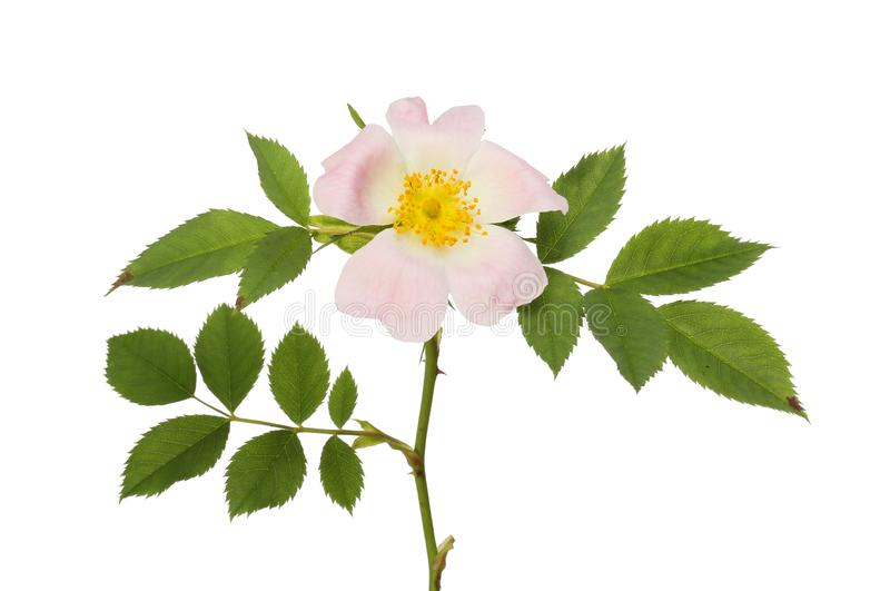 Pies róży ulistnienie i kwiat fotografia stock