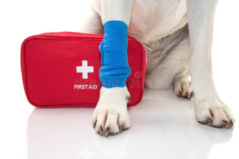 pies raniący ZAMYKA W GÓRĘ łapa labradora Z, FIRT pomocy zestawu I nagłego wypadku PIESZO BŁĘKITNYM bandażem ELASTYCZNYM zespołem obrazy stock