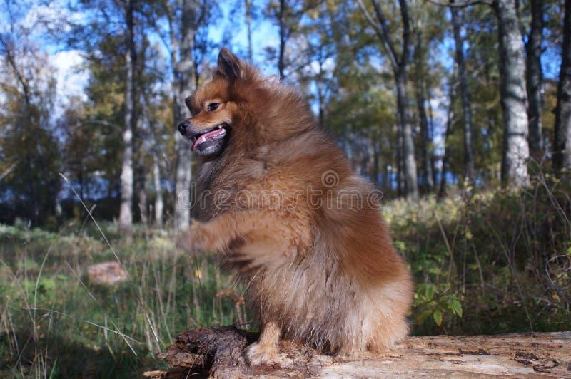 Pies x27; s najlepszy przyjaciel Niemiecki Spitz jest piękny zdjęcia stock
