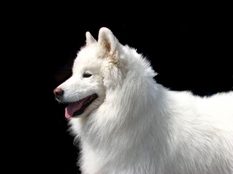 Download Pies samoyed obraz stock. Obraz złożonej z szczeniak, zima - 4675265