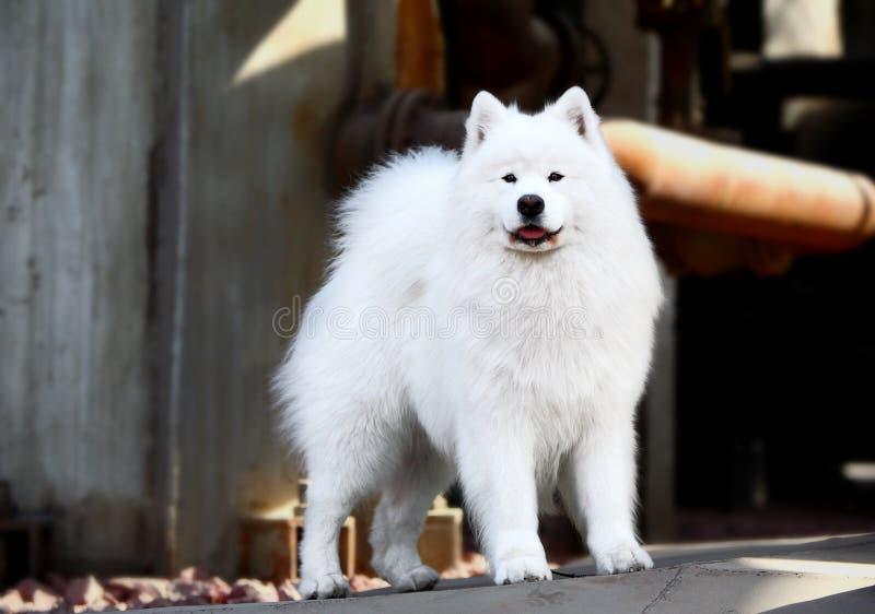 Download Pies samoyed zdjęcie stock. Obraz złożonej z jarmark, podołek - 4799430
