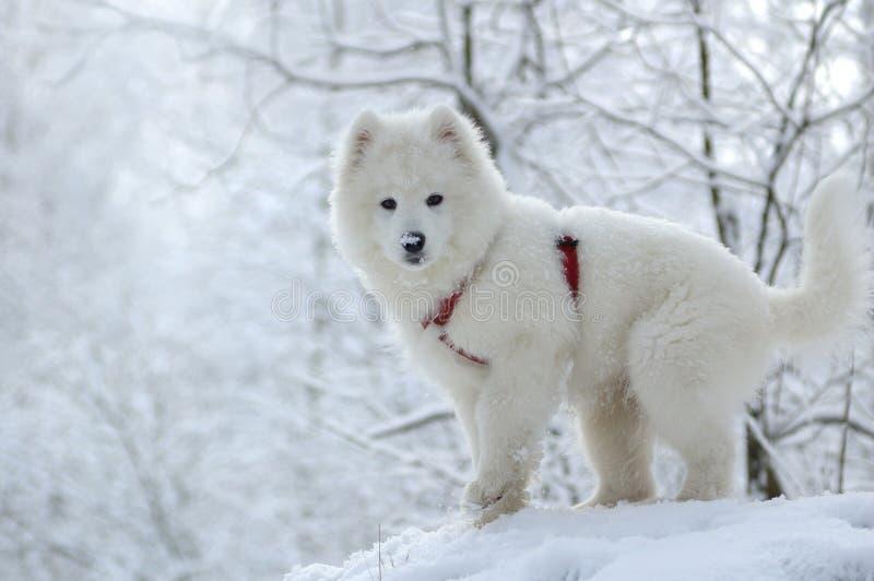 Pies Samoyed Obraz Royalty Free