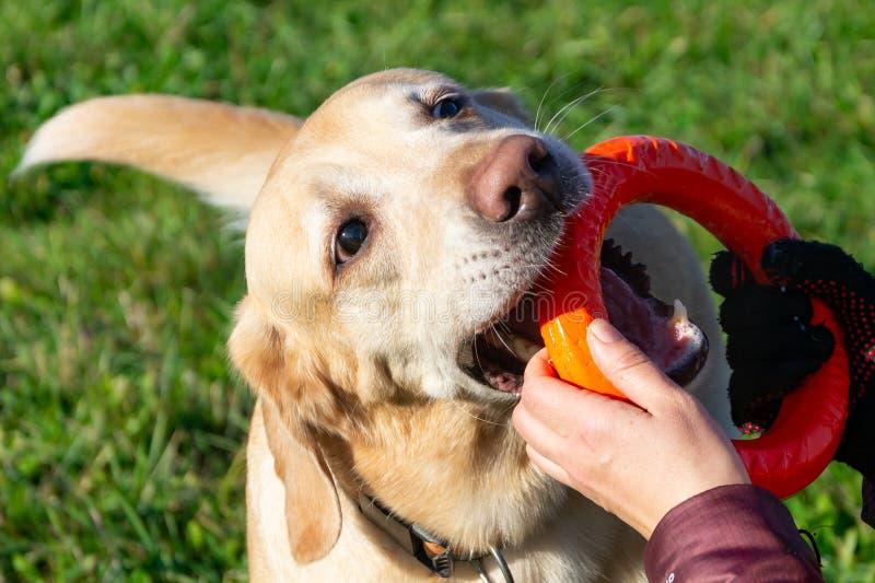 Pies sztuka z balowym i pierścionkiem Labrador fotografia stock