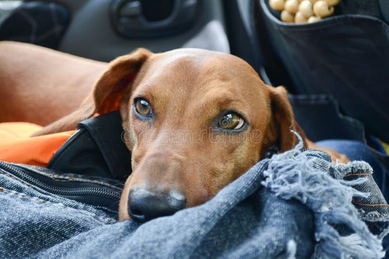 Pies tęsk zdjęcie royalty free