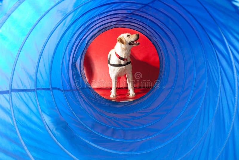 pies trenujący zdjęcia stock