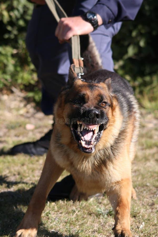 pies wściekłą na policję obraz stock