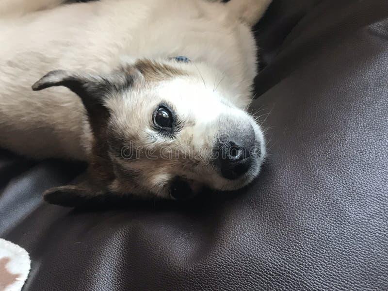 Pies w łóżkowej patrzeje kamerze w ten sposób ślicznej zdjęcie royalty free