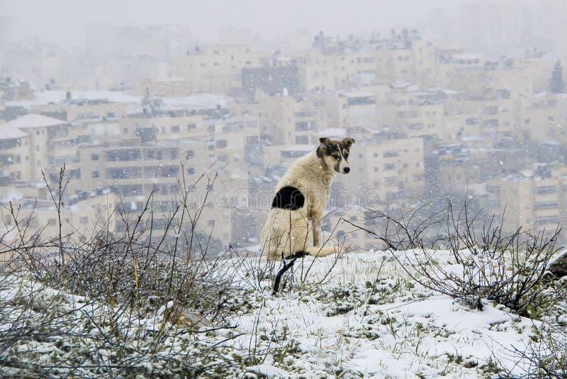 Pies w śnieżnym Jerusalem zdjęcia royalty free