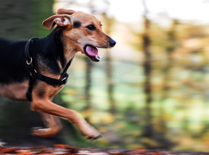 Pies w akci zdjęcia stock