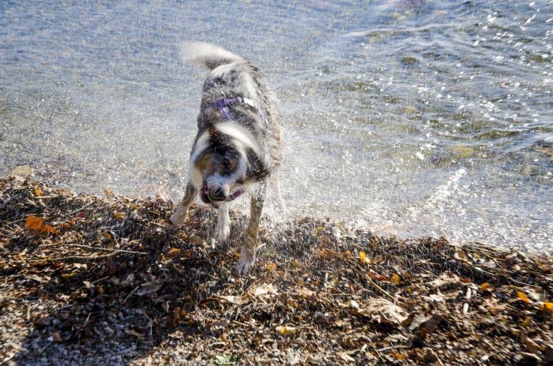 Pies w akci trząść wodę daleko po sztuki zdjęcia royalty free