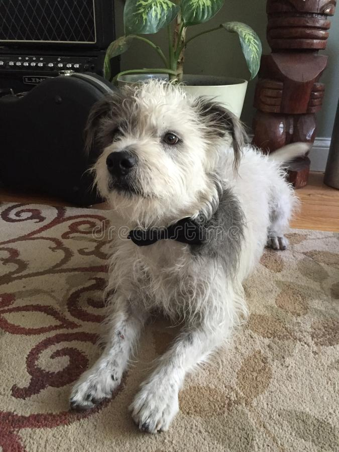 Pies w Bowtie obrazy stock