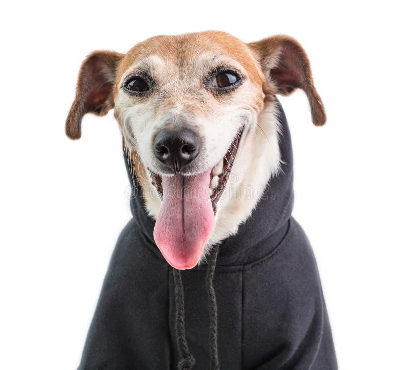 Pies w czarnym bluzy hoodie uśmiechniętym i patrzeje ciebie Cutie samll pies Biały tło obraz royalty free