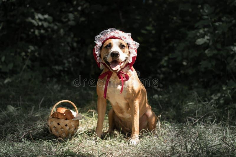 Pies w Halloween baśniowym kostiumu mała czerwona nakrętka Śliczny pupp zdjęcie royalty free