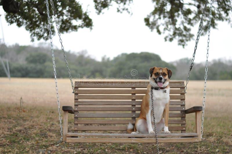 Pies w huśtawce obrazy royalty free