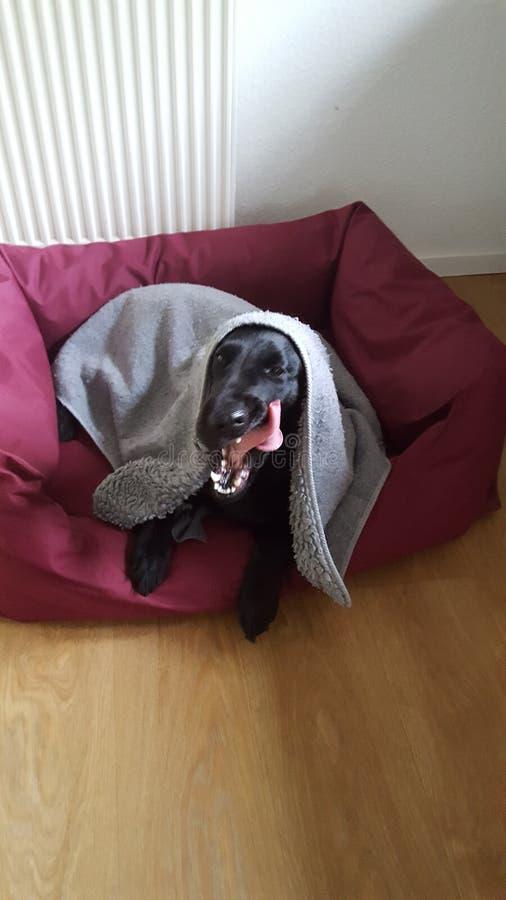 Pies w jego barsket obraz royalty free