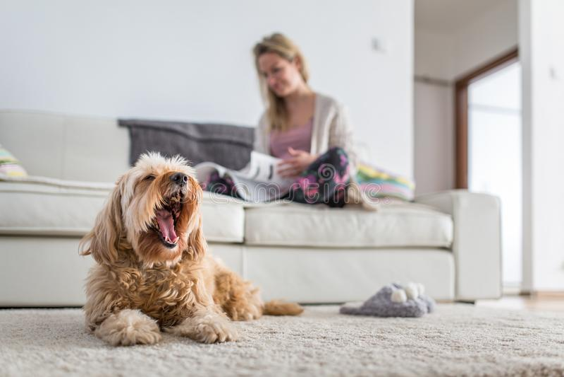 Pies w nowożytnym, jaskrawym żywym pokoju na dywanie, obraz stock